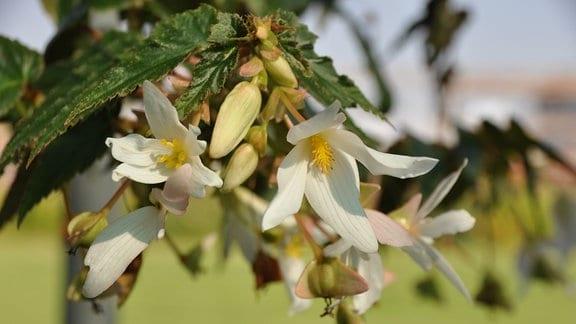 Weiße Blüten mit spitzen Blütenblättern in Nahaufnahme.