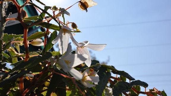 Weiße Blüten im Gegenlicht.