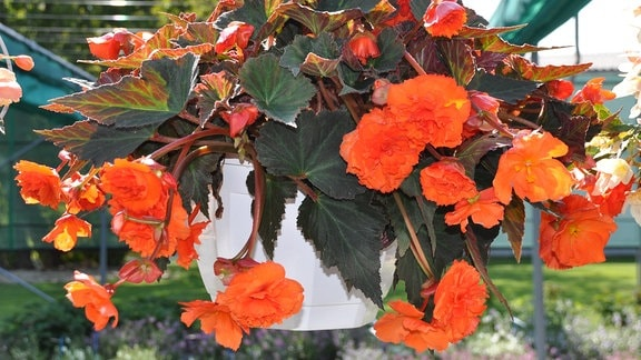 Eine Blumenampel mit einer großen Pflanze, die große rote Blüten trägt.