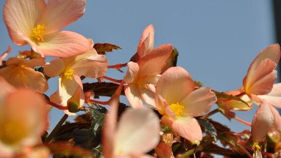 Viele rosa-weiße Blüten vor blauem Himmel.