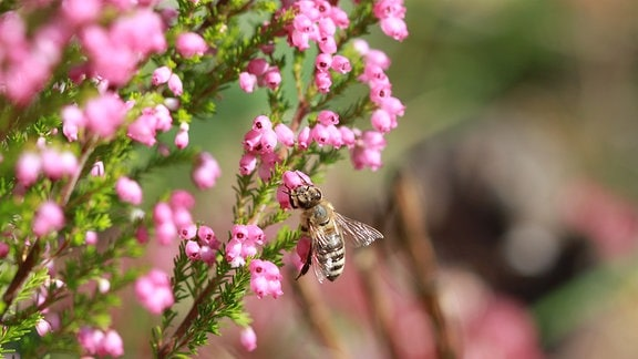 Eine Honigbiene sammelt Nektar aus den glöckchenartigen Blüten der Erica gracilis, einem Heidekrautgewächs.