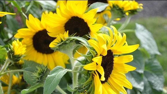 einjährige Sonnenblumen