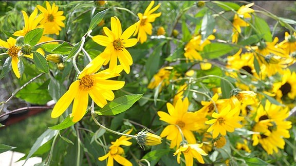 Sonnenblumen der Sorte Topinambur