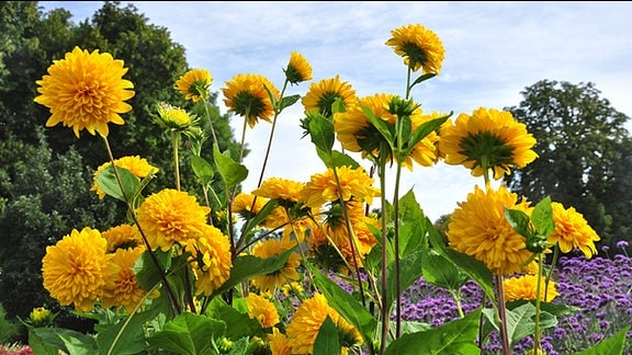 Gefüllte Sonnenblumen
