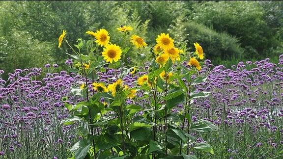 Sonnenblumen der Sorte Meteor mit lila Feld