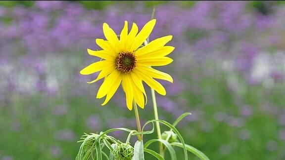 Weidenblättrige Sonnenblumen