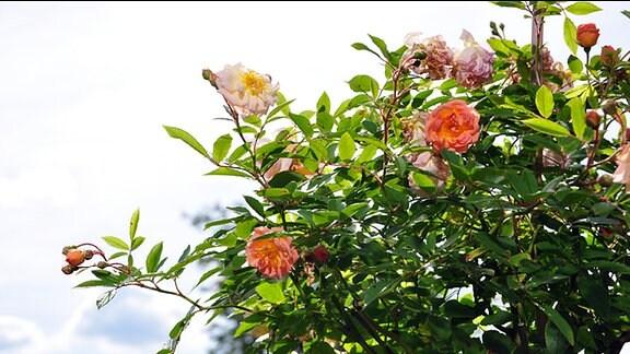 Rose der Sorte Ghislaine de Feligonde