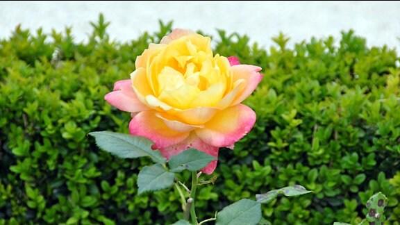 Mehrfarbige Rose