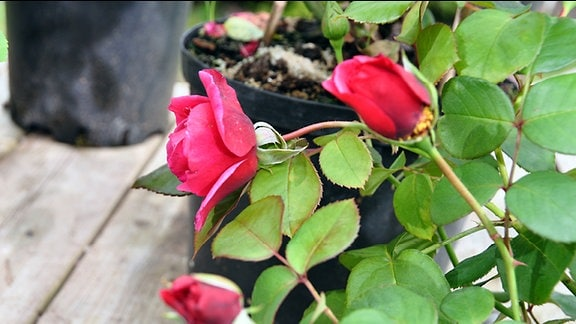 Rose der Sorte Elbflorenz