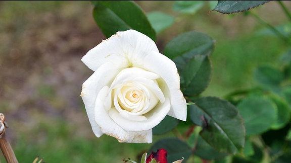 Rose der Sorte Pape Jean Paul II