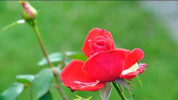 Rose der Sorte Duftwolke