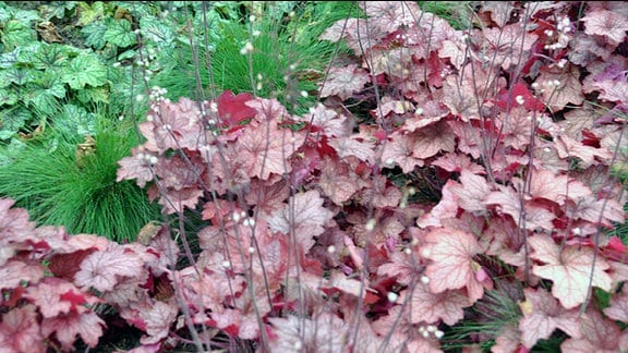 Heuchera der Sorte Georgia Peach