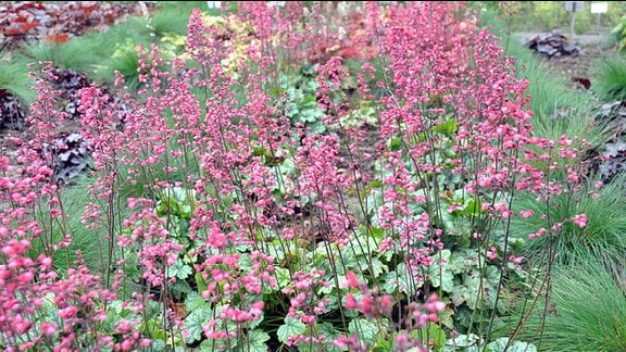 Heuchera der Sorte Paris