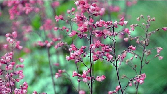 Blüte der Heuchera Paris in Nahaufnahme