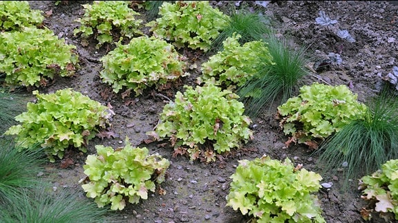 Heuchera der Sorte Key Lime Pie