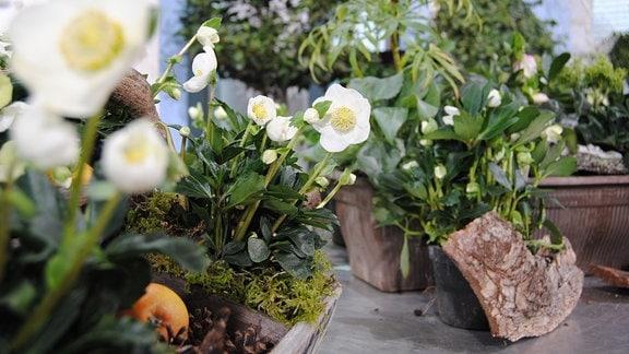 Weiß blühende Christrosen der Sorte Helleborus niger Joshua