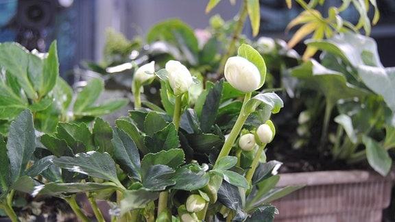 Weiße Knospen an einer Christrose der Sorte Helleborus niger Winter Gold