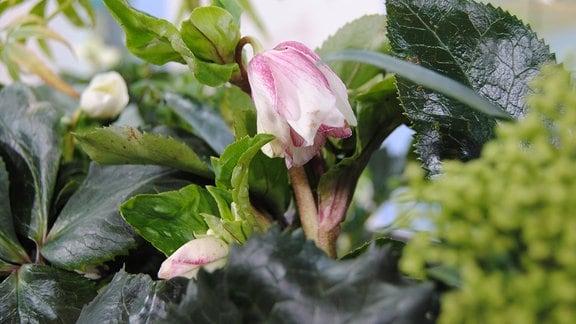 Weiß-rosa Blüte an einer Christrose der Sorte Ice N' Roses Early Rose