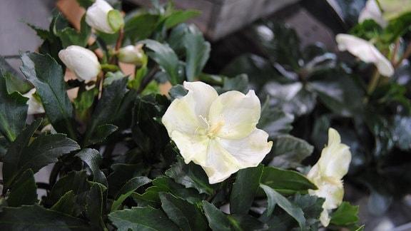 Weiße Blüte an einer Christrose der Sorte Helleborus niger Jacob Royal