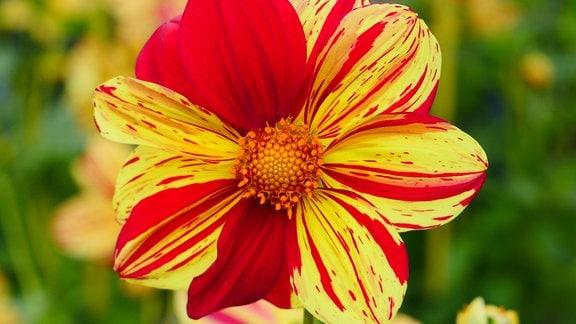 Eine Blüte mit einfarbigen und gestreiften Blätter in Rot und Gelb.