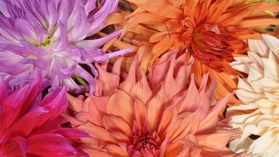 bunte Dahlienblüten in Nahaufnahme
