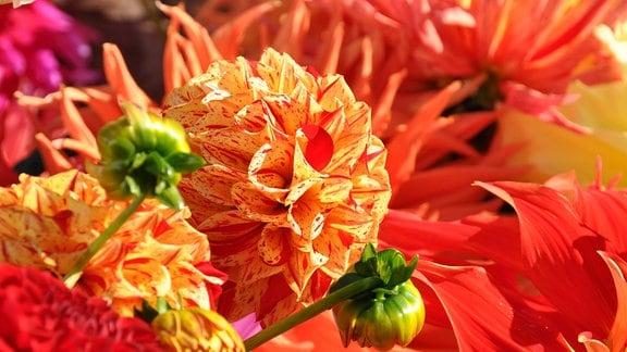 eine orangefarbene Ball-Dahlie