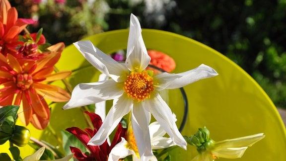 die Blüte einer weißen Orchideenartige-Dahlie