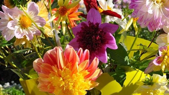 Blüte von zwei anemonenblütigen Dahlien in gelb-orange und lila
