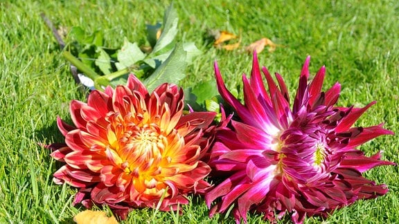 die Blüte einer lilafarbenen Dahlie Vancouver und einer rot-gelben Dahlie Atika