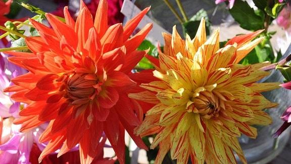 die Blüte einer rot-gelb gescheckten Dahlie Biedermannsdorf und einer orangenen Dahlie Vulkan