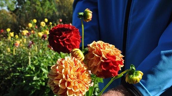 Blüten einer Hapet Feuerball