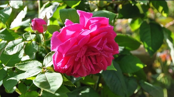 Rose der Sorte Madame Isaac Perriere