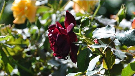 Rose der Sorte Senegal