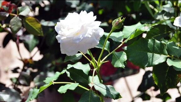 Rose der Sorte Boule de Neige