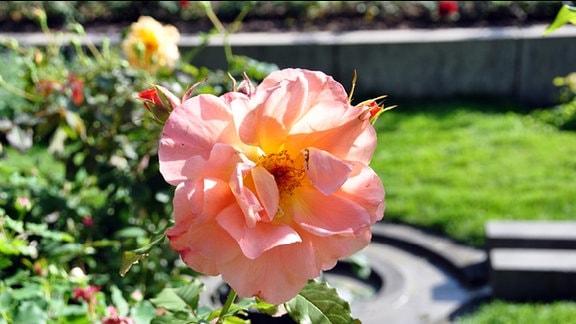 Rose der Sorte Westerland