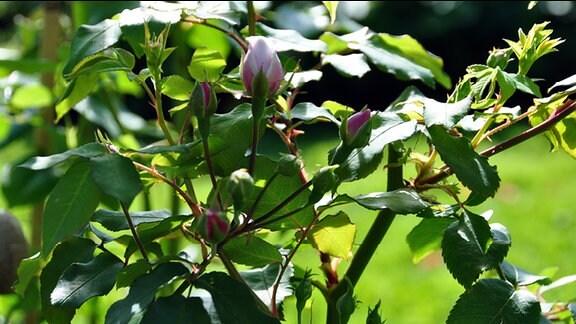 Knospe der Rosensorte Blush noisette