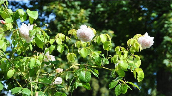 Rose der Sorte Madame Alfred Carriére