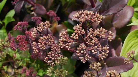 Eine rote Pflanze mit vielen Knospen und dicken Blättern.