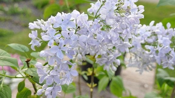 Hellblaue Fliederblüten in der Nahaufnahme