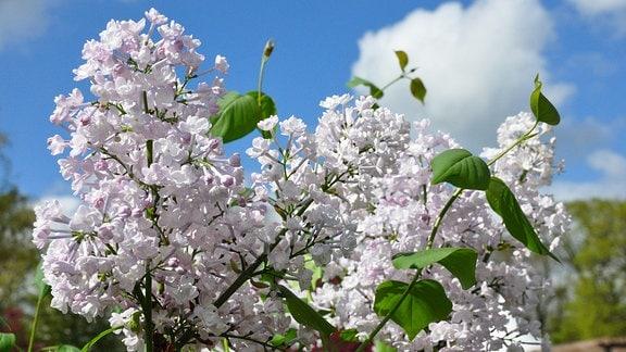 Zarte, weiße Blüte an grünen Zweigen