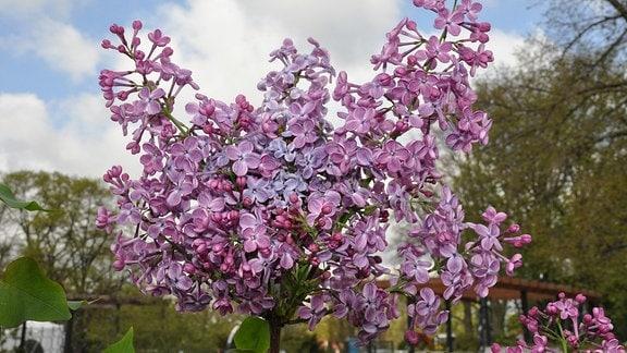 Fliederblüten in verschiedenen Lila-Tönen vor einem wolkigen Himmel