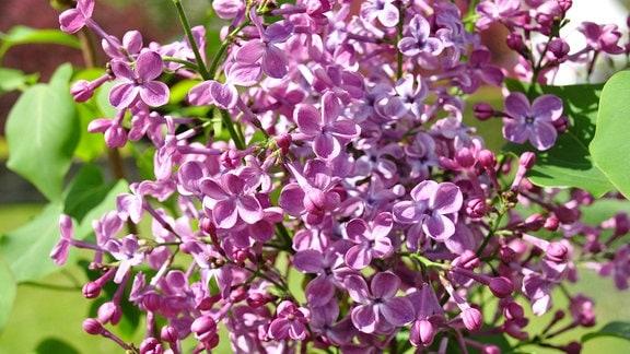 Intensiv-violette Blüten an Zweigen mit grünen Blättern vor einer Landschaft mit Baum und einem bewölktem Himmel