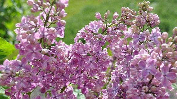 Zartrosa bis lilane Blüten in Nahaufnahme