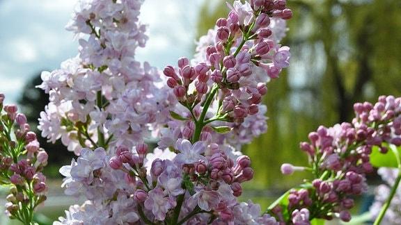 Offene Blüten und geschlossene Knospen an einem Zweig