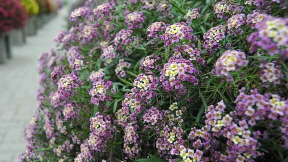 Zahlreiche kleine lila und gelbe Blüten einer Duftsteinrich-Pflanze der Sorte 'Bicolor Lilac Stream'