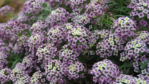 Zahlreiche kleine lila und gelbe Blüten einer Duftsteinrich-Pflanze der Sorte 'Lavender Stream'