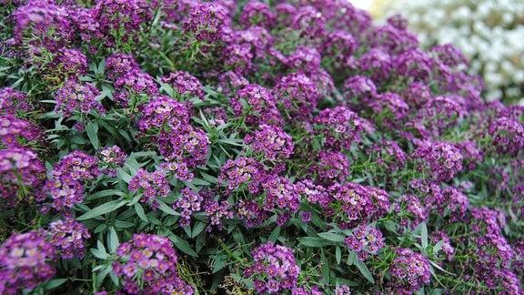 Zahlreiche kleine lila Blüten einer Duftsteinrich-Pflanze der Sorte 'Purple Stream'