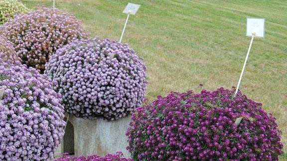 Kugelförmige Duftsteinrich-Pflanzen in den Farben Hell- und Dunkellila in Töpfen stehen auf Betonklötzen in zwei Reihen nebeneinander auf einer gepflasterten Fläche