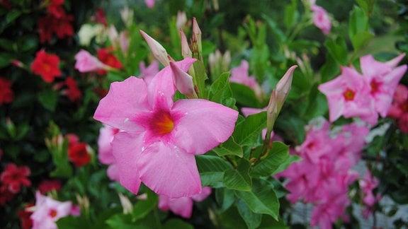 Große rosa Blüten und Knospen an einer Mandevilla-Pflanze