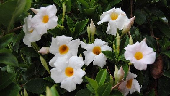 Weiße und im Inneren orangefarbene Blüten an einer Mandevilla-Pflanze.